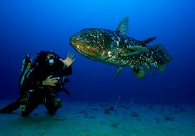 In the ocean, near a sandy bottom, a good-sized coelacanth faces a diver.
