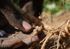 Cowpea roots bear nodules which contain nitrogen-fixing bacteria.